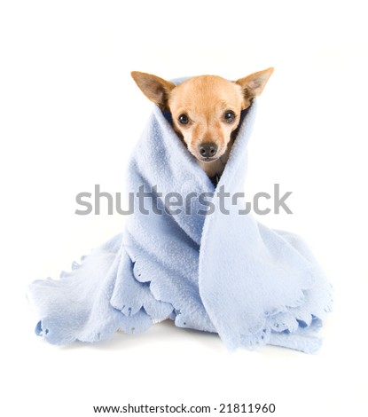 a tiny chihuahua with a blue blanket on