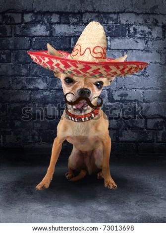 a tiny chihuahua with a sombrero hat on (from the mustache series) - stock photo