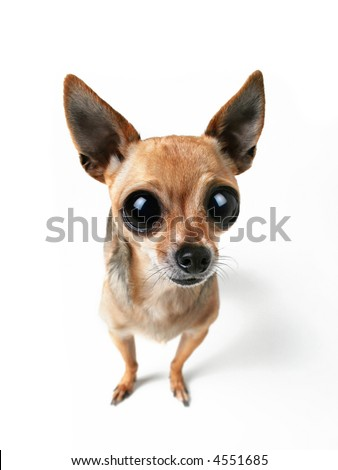 a tiny chihuahua with big eyes