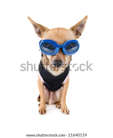 a tiny chihuahua with goggles and a jacket