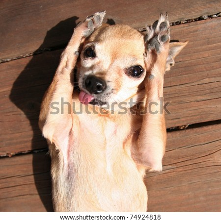 a tiny chihuahua with his arms up