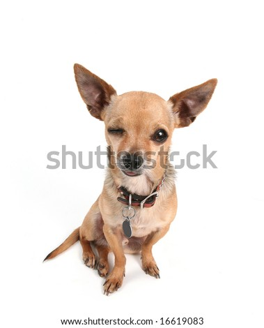 a tiny cute chihuahua on white