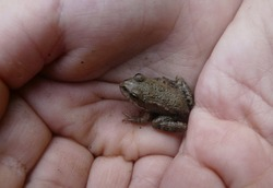 A tiny frog in child's hands