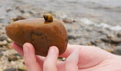 A tiny golden snail hides in its shell atop a large brown stone held in the hand of a white woman at a rocky beach. In close-up, with just a bit of snail visible. Focus on the shell and brown stone.