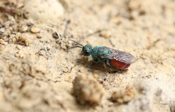 A tiny Ruby-tailed Wasp, Chrysididae, resting on the ground at the edge of woodland in the UK.