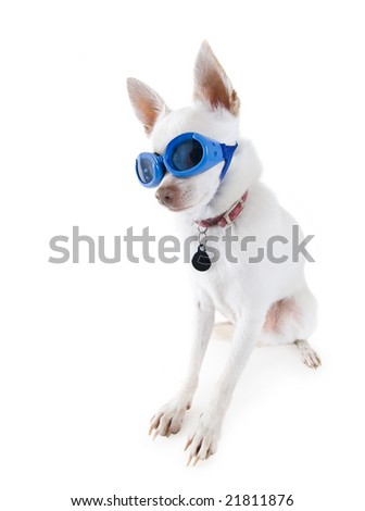 a tiny white chihuahua with goggles on