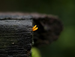 A tiny yellow color parasitic plant or saprophyte on a decaying plank