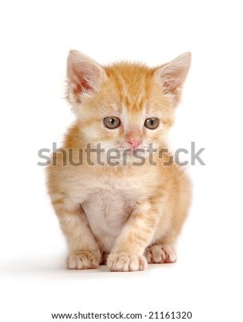 A tiny yellow kitten sitting on white background.