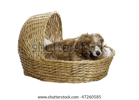 A tired cockapoo is yawning while lying in a bassinet, isolated against a white background