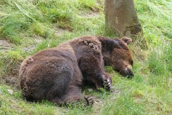 A tired  Eurasian brown bear (Scientific latin name: Ursus arctos arctos) also known as the Common brown bear, European brown bear or European bear, sleeps in the grass under a tree.