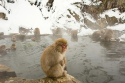 A tired Japanese macaque monkey sleeps near the hot spring pool in Nagano, Japan.