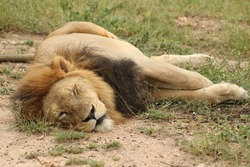 A tired male lion sleeping in the sun