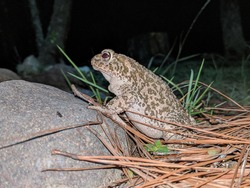 a toad walking in the night in the woods of mexico