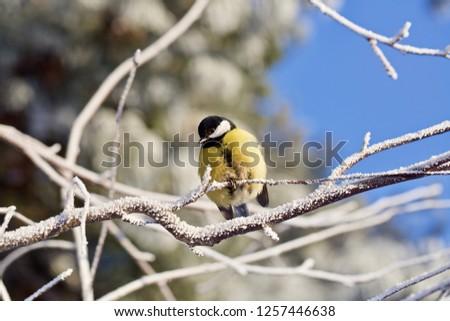 A tomtit on frosted branch in a winter park, Sayma Park, Surgut, Western Siberia. Captured on November 28, 2018 Stok fotoğraf ©