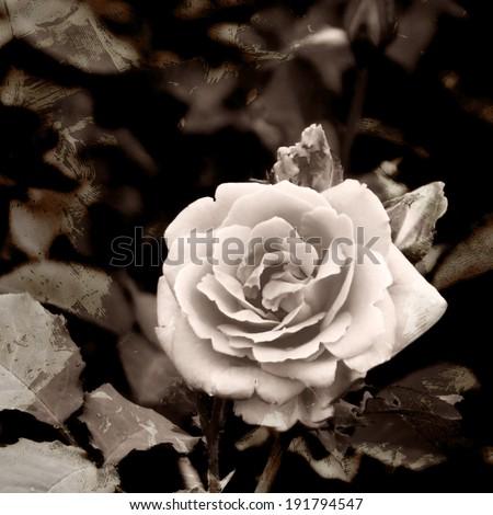 A toned, retro-stylized rose photo