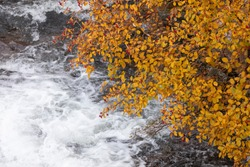 A torrent of cold water, from which the Aragon Subordan River is born, as it passes under the branches of a rowan tree, through the Aguas Tuertas valley, Hecho, Anso, Huesca. Aragonese Pyrenees.