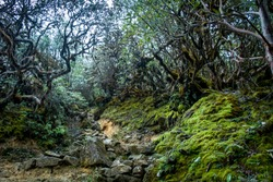 A tough route, full of stones, goes through rhododendron forest of Kanchenjunga National Park during the famous Goechala Trek
