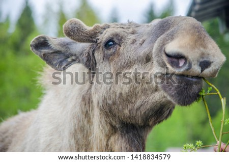 A tourist feeding a cute wild Moose elk close up with growing horn in an elk farm during the elk farm visit in northern Sweden in a sunny day with background