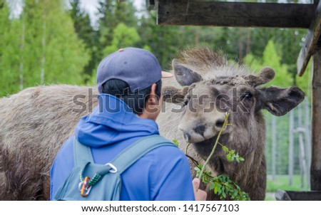 A tourist trying to feed a cute wild Moose elk with growing horn in an elk farm during the elk farm visit in northern Sweden in a sunny day with background