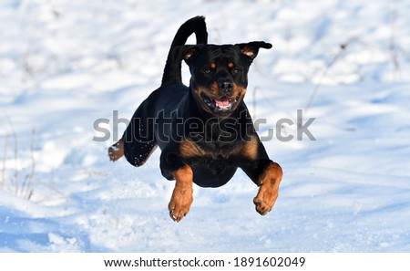 a towering rottweiler running on the snow Zdjęcia stock ©