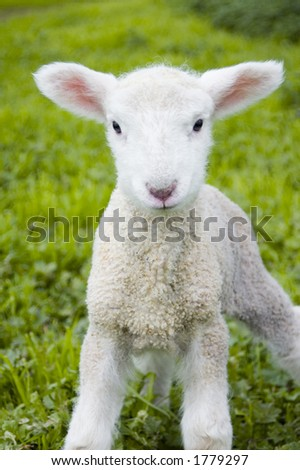 A toy-like lamb, only three days old, looks with inquisitive eyes at the world.