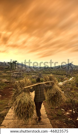 a traditional chinese farmer carrying dry wheat after harvesting during beautiful sunset