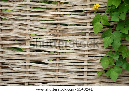 A traditional English woven fence woven with coppiced hazel and a creeper growing to the right