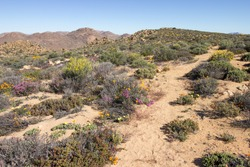 A trail winding through the Namaqualand veld, in late spring, with some of the last wildflowers of the season still in bloom, Goegap Nature Reserve, Northern Cape South Africa