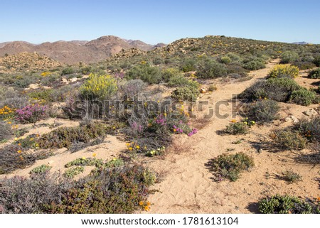 A trail winding through the Namaqualand veld, in late spring, with some of the last wildflowers of the season still in bloom, Goegap Nature Reserve, Northern Cape South Africa Foto stock ©