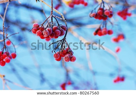 A tree blooming with Rowan berries in the fall, shallow focus