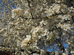 A tree blooming with white flowers. Cherry, apple, plum or sweet cherry in a flowering state. Delicate white petals. Postcard. Congratulations on the day of spring, happy mothers day. Blue sky.