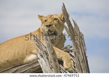 a tree climbing lion looks around from a dead tree