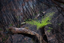 A tree fern flourishes after bush fires in Australia.  Burnt trees sprout new growth and small grasses emerge from ashen grounds. This is a steep slope at a cliff face