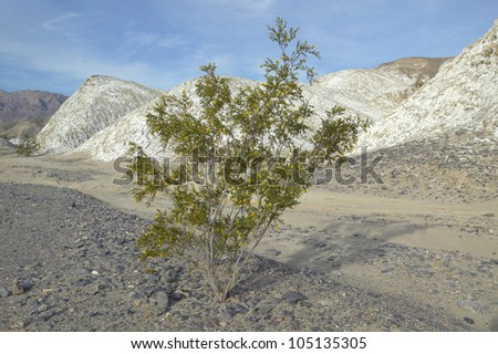A tree growing at the center of the Salt Flats in the spring of Death Valley National Park, CA