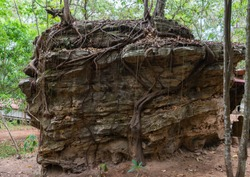 A tree growing on top of a large rock with its roots reaching down to the ground.