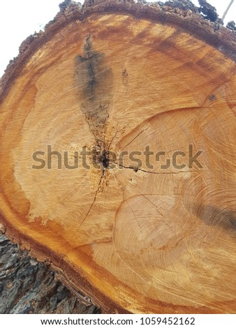 A tree in a cut.Cutting edge of timber, Logs Timber in the forest.Old wood texture pattern of vintage lines. Brown firewood texture. Abstract background. Empty backdrop. empty space, Cracks of wood #1059452162