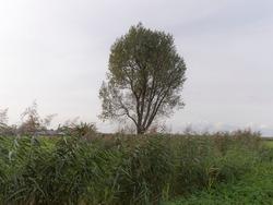 A tree in a field in Nigtevecht, theNetherlands