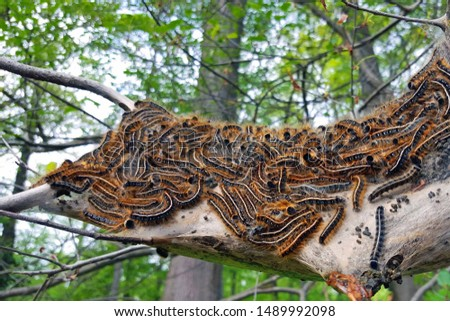 A tree is infested with Gypsy moth caterpillars