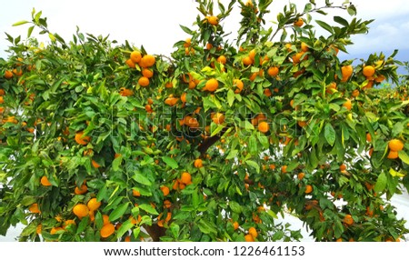 A tree of tangerine varieties of tangerine farm in Jeju Island. Many tangerines are growing in the trees.  #1226461153