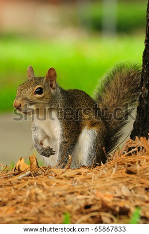 a tree squirrel - eastern gray squirrel (Sciurus carolinensis) playing under the tree canopy