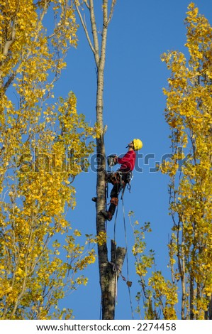 A tree surgeon, cutting down a poplar tree in autumn, looking to make his next cut. - stock photo