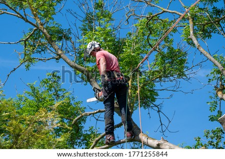 A Tree Surgeon or Arborist using safety ropes ready to work up a tree. Stock photo ©