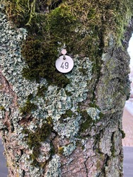 A tree tagged with the number 49 with an aluminum plate and an iron nail on a mossy tree.