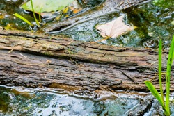 A tree that has fallen in a swamp and has pain on the surface of the water has decayed in a swamp for a long time