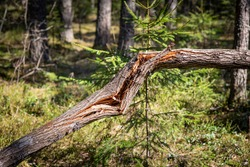 A tree trunk broken by the wind on the background of a green coniferous forest.