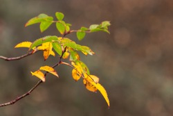 A tree whose leaves turn yellow with the onset of autumn.