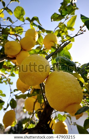 a tree with branches laden with lemons in southern Italy