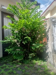 A tress often found at Indonesian