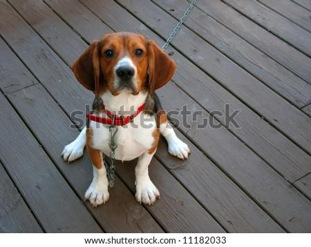 A tri-colored beagle dog posed sitting.
