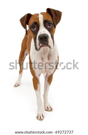 A tri-colored Boxer dog standing up and looking forward. Isolated on white